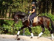 Dressage Oldenburg Gelding