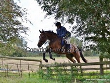 17. 1hh Gentle Giant Hunter and All Rounder
