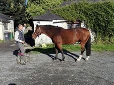 16. 2 Irish Sports horse for permanent loan