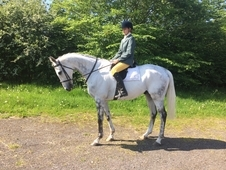 16. 2hh Grey TB For Sale, quick sale needed