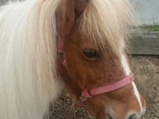 2 Cheeky but Adorable Miniature Horses For Sale - To be sold Toge...
