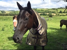 Stunning 8yo Black mare 16hh Perfect allrounder