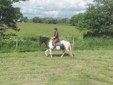 reliable sharer wanted for 14. 2hh cob
