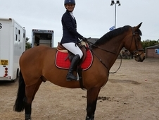 Stunning Warmblood Bay Gelding for sale