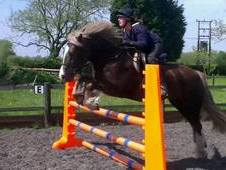 14. 3hh 7 year old Welsh D Mare