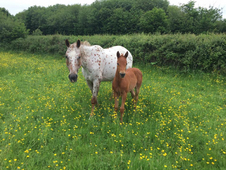 Appaloosa Mare and foal