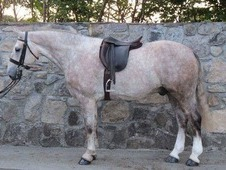 Potential and stunning HOYS cob for sale