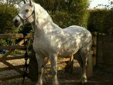 To share 7 days a week 14. 2 solid built, pretty connemara mare n...