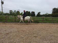 14. 2 HH Grey Gelding Leicestershire
