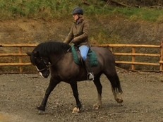 14.1hh dark bay cob