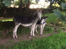 Pair of Cornish Donkeys