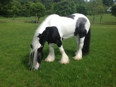 FOR SALE -14.2hh 6 years old Traditional piebald gelding.