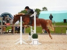 13hh Pony club all rounder