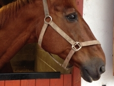 16.2hh Chestnut Belgian Warmblood Mare For Sale or Loan