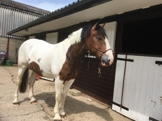 16 hh cob X thoroughbred Coloured mare for sale  -