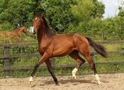 Top quality dressage/event prospect by Ampere
