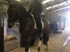 5yr old 18hh Dutch Warmblood Top Dressage Prospect