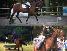 Cheap to Right Home - 16. 2hh Dark Bay Gelding (ID/TB)