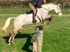16. 1 7 year old mare, perfect for show jumping/ eventing