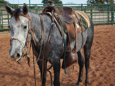 I am selling Pure Blood Lusitano, registered, Veiga bloodline