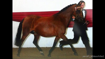 Kind Natured 13:2hh mare for Loan/Share/Buy