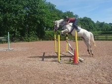 Fit and ready to go, 17hh gelding by natal