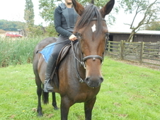 Star 15. 2 Irish Sport Mare age 8.