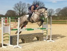 Stunning 8 year old grey gelding, standing at 16. 1