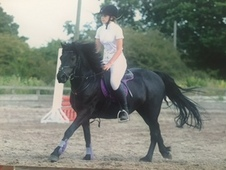 12. 2hh Dartmoor mare for sale or LWVTB