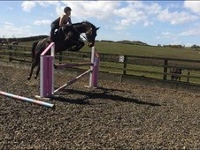 FINAL REDUCTION! 15. 2 Warmblood mare safe and sensible