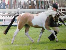 TOP HOYS/RIHS COLOURED SPORTS PONY