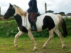 Stunning tri-coloured cob