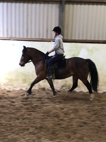 Beautiful 14.2hh Bay Mare