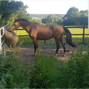 Part Bred Arab Horses for Sale | Horsemart