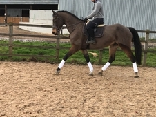 17hh gelding heartbreaker breeding