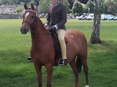 Top quality chestnut gelding