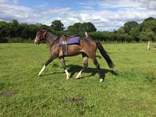 13. 1hh 4yrs old flashy riding pony