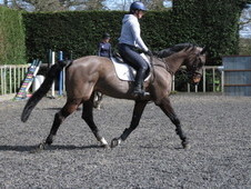 Schoolmaster showjumping or riding club horse