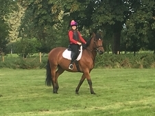 Bruce Very handsome 6 year old, 16. 1 Irish Sports Horse, Bay, Ge...