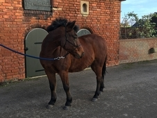 FULL UP 13. 2 REGISTERED NEW FOREST GELDING