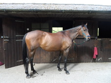 Beautiful 16hh Bay mare