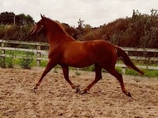 15.2hh Small Hunter...