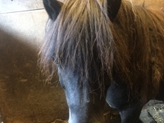 LOVELY HOME FOUND - FOR LOAN Friendly Black Shetland Gelding companion pony