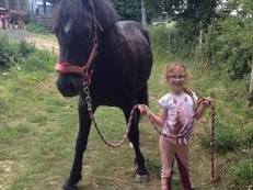 Welsh Cob Section D - Mare 3yr 7months