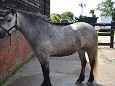Beautiful Registered Highland mare for sale