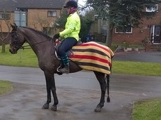 15.3hh well-bred dark bay mare.  Short coupled and built uphill, 7 year old ex-broodmare.