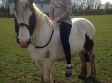 13.3hh coloured mare rising 5 years