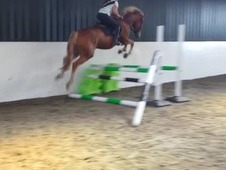 IDxTB 4yr old excellent paces