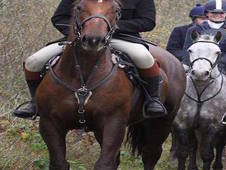 Superb 17hh 5yr Old Hunt/Event/All-Rounder horse