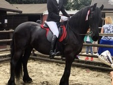 10 year old Friesian Mare for sale £3250 ☀️Price reduced as ...